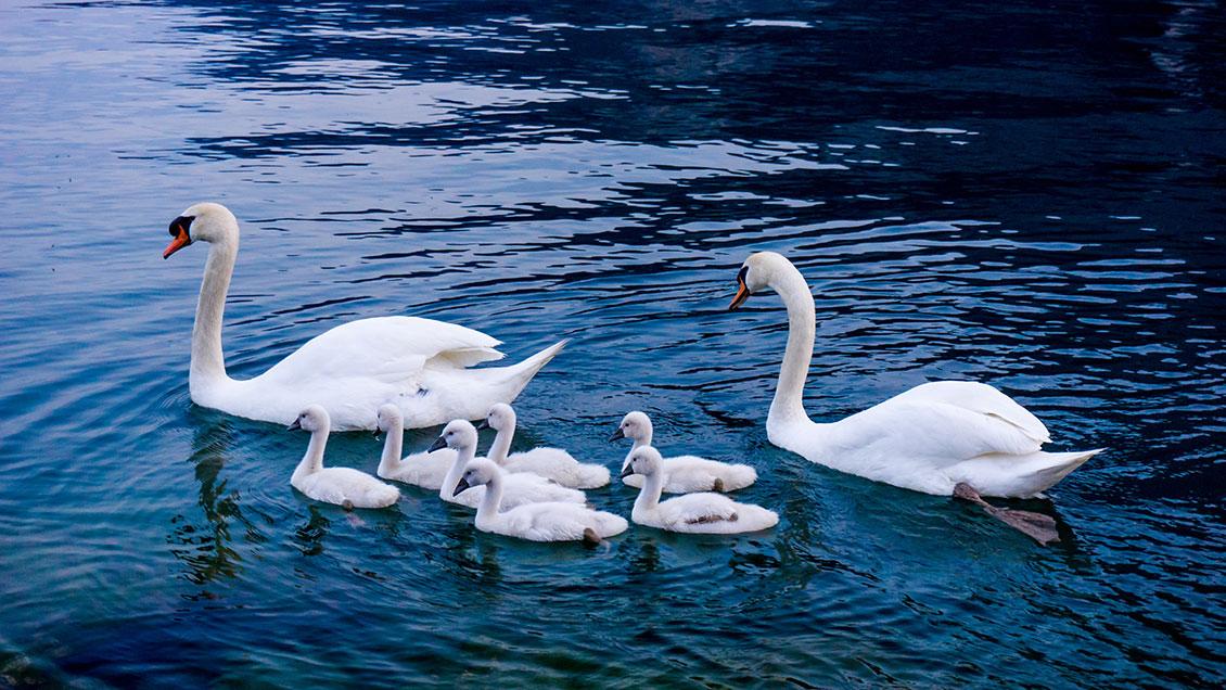 swanmedica swan family