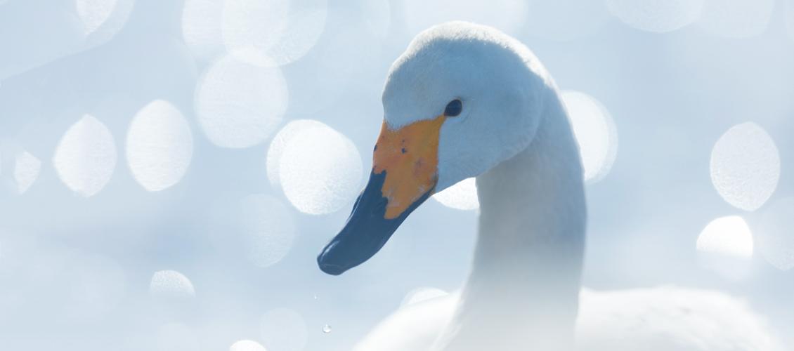 swanmedica whooper swan